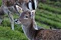 Dama dama - Rapperswil 2012-11-01 15-06-38.JPG