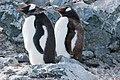 Danco Island Antarctica Gentoo Penguins 2 (47284466342).jpg