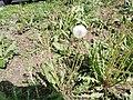 Dandelion gone to seed.jpg