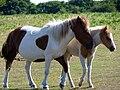 Dartmoor Ponies1.jpg