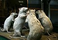 Dead rats on display in the window of Aurouze, an exterminator in Paris (6).jpg