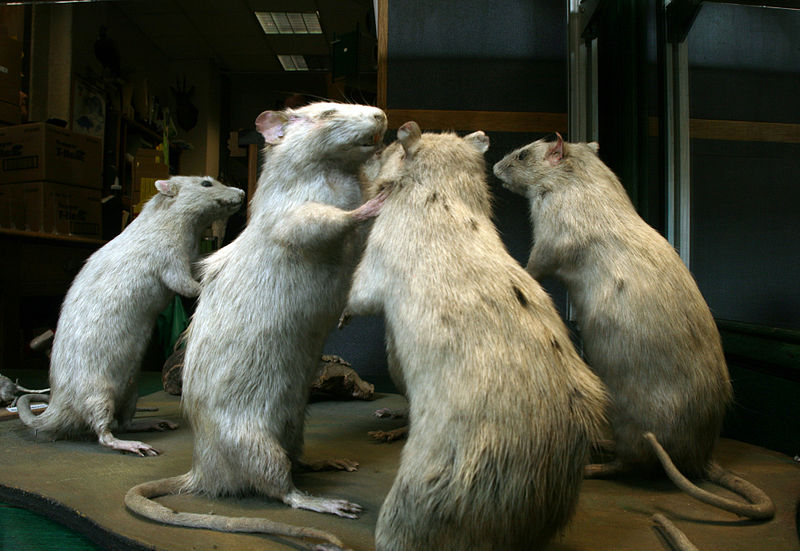 File:Dead rats on display in the window of Aurouze, an exterminator in Paris (6).jpg