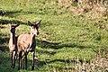 Deer - RSPB Minsmere (37595375860).jpg