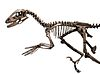 Deinonychus skeleton.