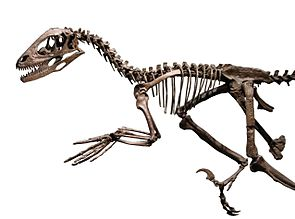 Deinonychus, ein Dromaeosauride