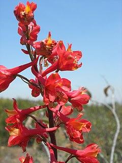 240px delphinium cardinale, otay mtn