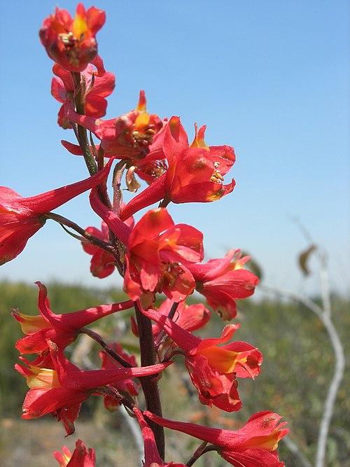 500px delphinium cardinale, otay mtn