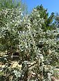 Dermatophyllum secundiflorum 'Silver Sierra' kz1.jpg