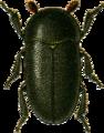 Dermestes laniarius Jacobson.png