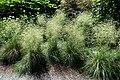 Deschampsia cespitosa 'Schottland' - Coastal Maine Botanical Gardens - DSC03170.jpg