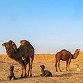 Desert2 (1) (شتر در کویر مسیله قم).jpg