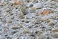Desert bighorn herd in habitat (5282238748).jpg