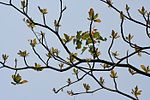 Desi Badam (Terminalia catappa) branches with new leaves & flower spikes in Kolkata W IMG 3260.jpg
