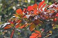 Desi Badam (Terminalia catappa) leaves before falling in Kolkata W IMG 3245.jpg