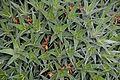 Deuterocohnia lorentziana in Tropengewächshäuser des Botanischen Gartens 02.jpg