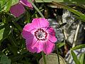 Dianthus alpinus - Ostalpen-Nelke.jpg