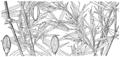 Dichanthelium dichotomum var ramulosum (as Panicum microcarpon) HC-1935.png
