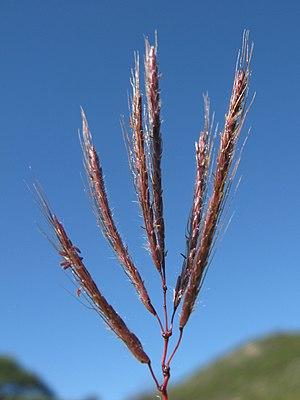 Dichanthium annulatum - Image: Dichanthium annulatum