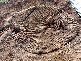 Ediacaran biota - Dickinsonia costata, an iconic Ediacaran organism, displays the characteristic quilted appearance of Ediacaran enigmata.