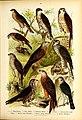 Die Vögel Europas (Pl. 5) (21323897435).jpg