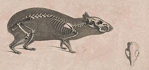Brazilian guinea pig - Image: Die vergleichende Osteologie (1821) Cavia aperea