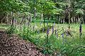 Digitalis purpurea - Purple Foxglove - Roter Fingerhut - Hesse - Germany - 32.jpg