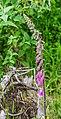 Digitalis purpurea at the Mt Alexander Route 01.jpg