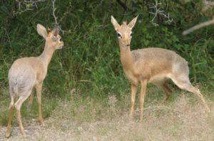 Wildlife of Namibia - Kirk's dik-dik