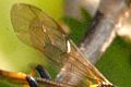 Diphyus.palliatorius9.-.lindsey.jpg