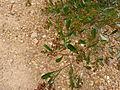 Dodonaea viscosa (5369009120).jpg
