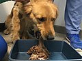 Dog vomiting with apomorphine.jpg