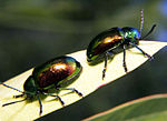 Dogbane leaf beetles.jpg