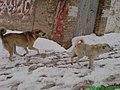 Dogs in Snow Fall - Quetta.jpg