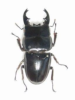 DorcusbucephalusMale (2)