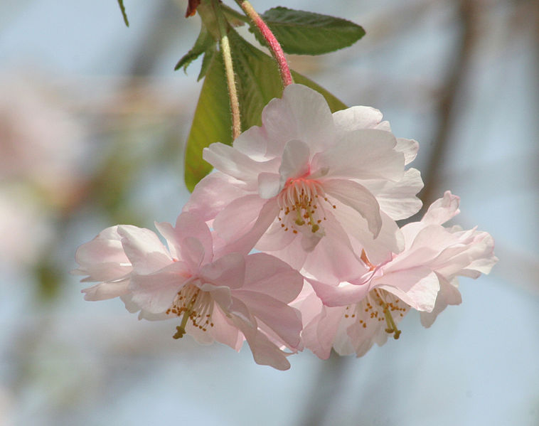 File:Double-flowered Cherry Blossoms.jpg