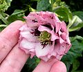 Double pink hellebore with dark blotching.JPG