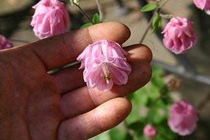 Aquilegia - Double-flowered Aquilegia × hybrida