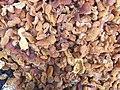 Dried apricot, Malatya 03.jpg