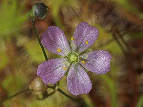 Blüte von Drosera omissa