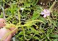Drosera indica from Madayippara 06.JPG