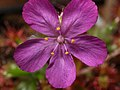 Drosera lasiantha flower Darwiniana.jpg