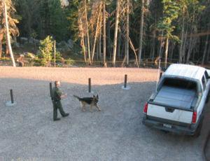 Working dog - A German Shepherd detection dog at work