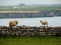 Dry Stone Sheep, Ramsey Island - geograph.org.uk - 848352.jpg