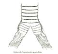 DryotriorchisSyrinx.png