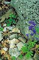 Dwarf larkspur flower.jpg