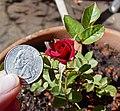 Миниатюрная роза мини королева