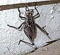 Eastern Lubber grasshopper (2657326753).jpg