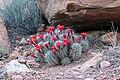 Echinocereus coccineus subsp. coccineus (17053555026).jpg