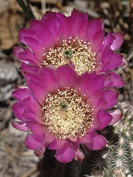 Echinocereus fendleri flowers1.jpg