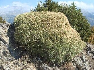 Echinospartum - Echinospartum horridum
